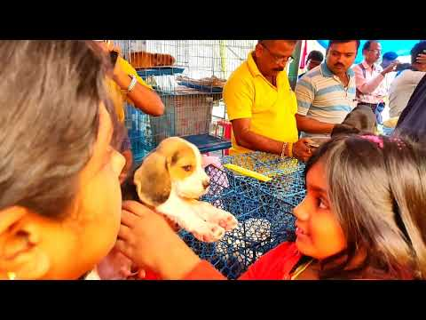 Excellent Quality Beagle Puppy For Sale At Galiff Street Pet Market Kolkata