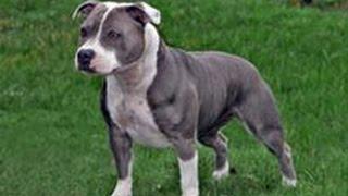 Стаффордширский бультерьер. Лучшие породы собак.