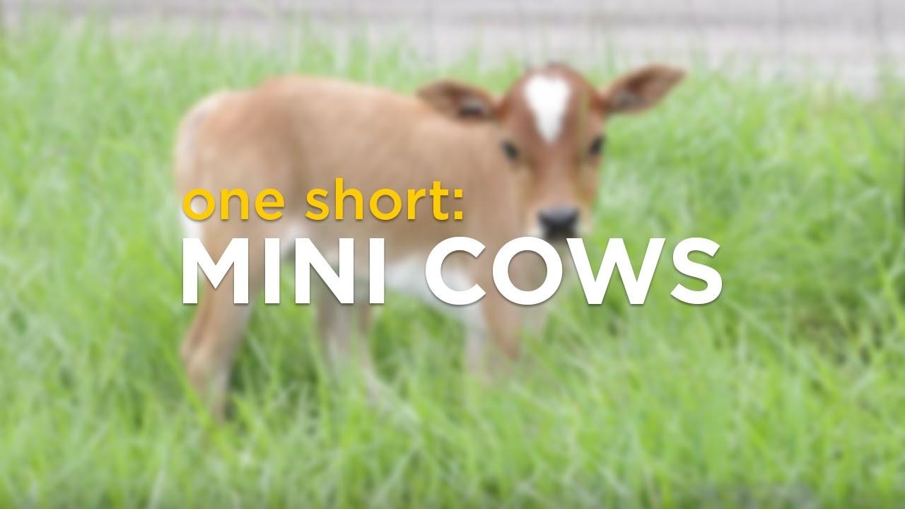 one short mini cows youtube