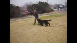 ニューファンドランド犬の蔵之介~♪ ロングリードで公園散歩。