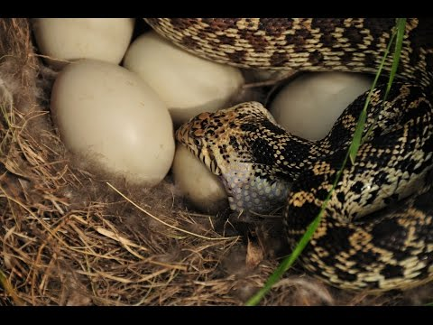 Controlling Snakes In Your Chicken Coop