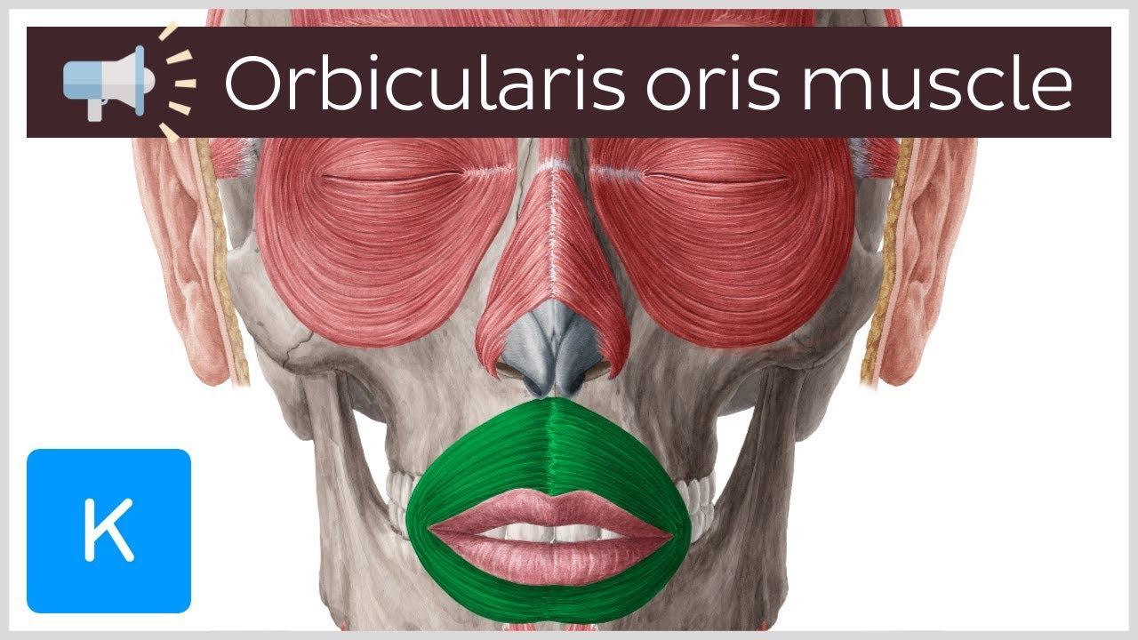 Orbicularis Oris Muscle Anatomical Terms Pronunciation By Kenhub