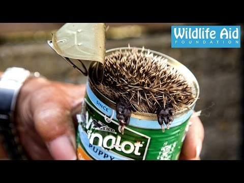Cute baby Hedgehog Stuck in a Can! - Wildlife Rescue