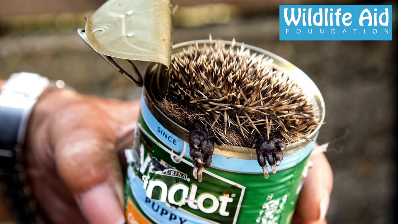 cute baby hedgehog stuck in a can wildlife rescue youtube