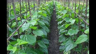 Betel Leaf Farming & Betel Leaf Harvesting - Pan Leaf Farm