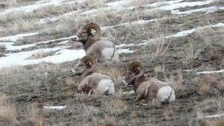 Толсторогий баран - Bighorn Sheep (Энциклопедия животных)