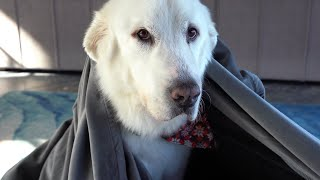 Koda gets the World's Biggest Blanket