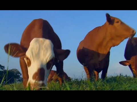 Beefmaster Cattle Breed in Colombia - TvAgro by Juan Gonzalo Angel