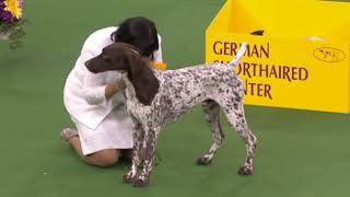 Remembering CJ, the German Shorthaired Pointer