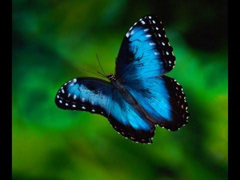 Gest Erfly In Costa Rica Blue Morpho