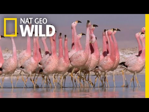 Thumbnail: These Flamingos Have Sweet Dance Moves | Wild Argentina