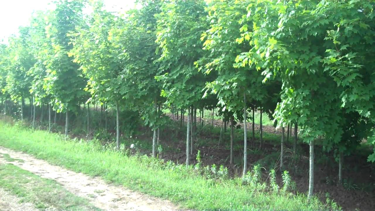 landscaping with fast growing trees