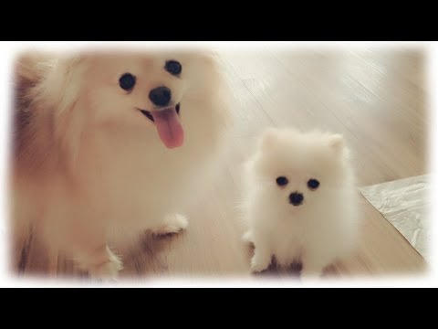 Our tiny white micro / teacup pomeranian puppy