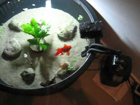 Fancy Goldfish In Their 150 Liter Tub Youtube