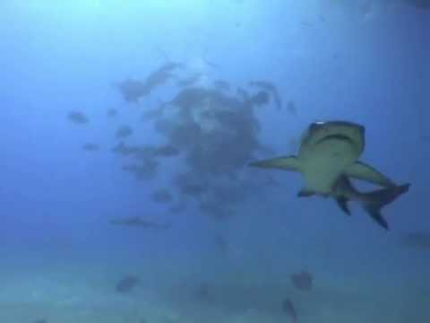 SHARK DIVE QUEENSLAND