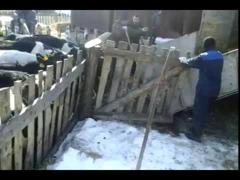 Продажа бычков на откорм WhatsApp +79656176005 - YouTube
