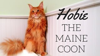 Maine Coon Cat: Meet Hobie the kitty with a big personality