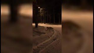 Лисы в городе. Жители Ханты-Мансийска встречают диких животных в парках города