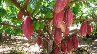 Budidaya tanaman kakao #BAG 2 ( membuat tanaman berbuah sepanjang tahun)