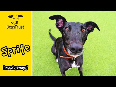 Sprite the Clever Lurcher is Incredible at Agility! | Dogs Trust Glasgow