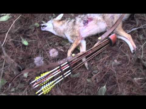 Running Coyote Shot With Recurve!