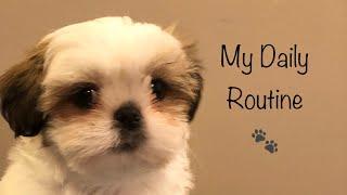 A Day in My Life | Shih Tzu Puppy