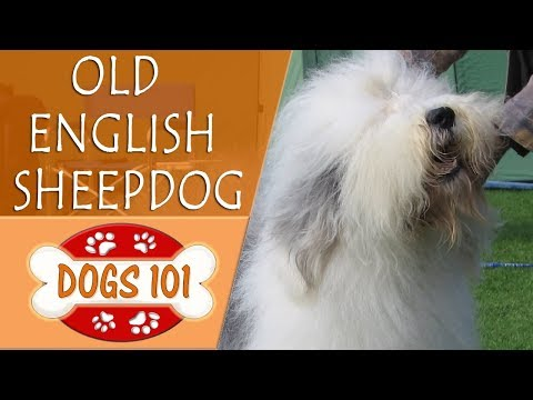 Dogs 101 - OLD ENGLISH SHEEPDOG - Top Dog Facts About the OLD ENGLISH SHEEPDOG