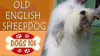 Dogs 101  OLD ENGLISH SHEEPDOG  Top Dog Facts About the OLD ENGLISH SHEEPDOG