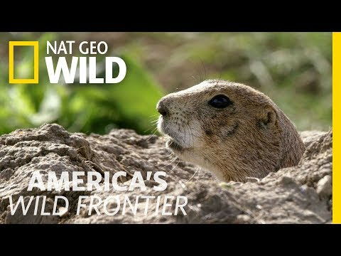 Sounding the Prairie Dog Alert System | America's Wild Frontier
