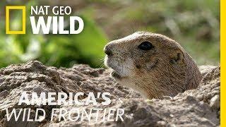 Sounding the Prairie Dog Alert System | America's Wild Frontier
