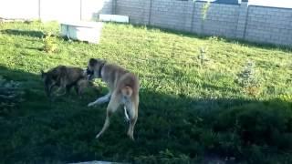 Игра собак