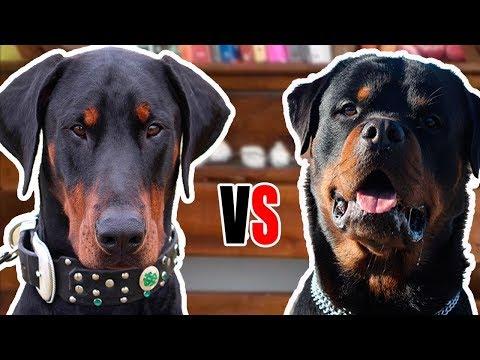 ROTTWEILER VS DOBERMAN - Comparação entre raças