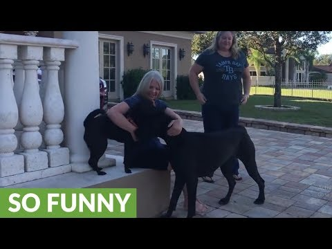 Great Dane shows off dance moves to friends