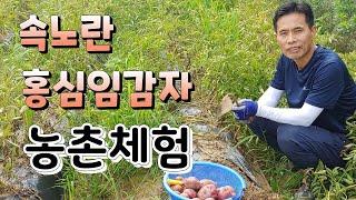 분 많은 속노란 홍심이 감자 수확 농촌체험 솔바위농원에