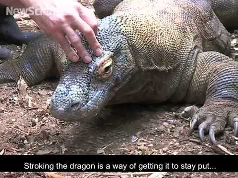 How to train a deadly komodo dragon