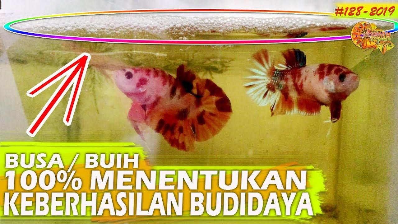 Cara Memperbanyak Busa Buih Ikan Cupang Pada Saat Pengawinan Betta Fish Youtube