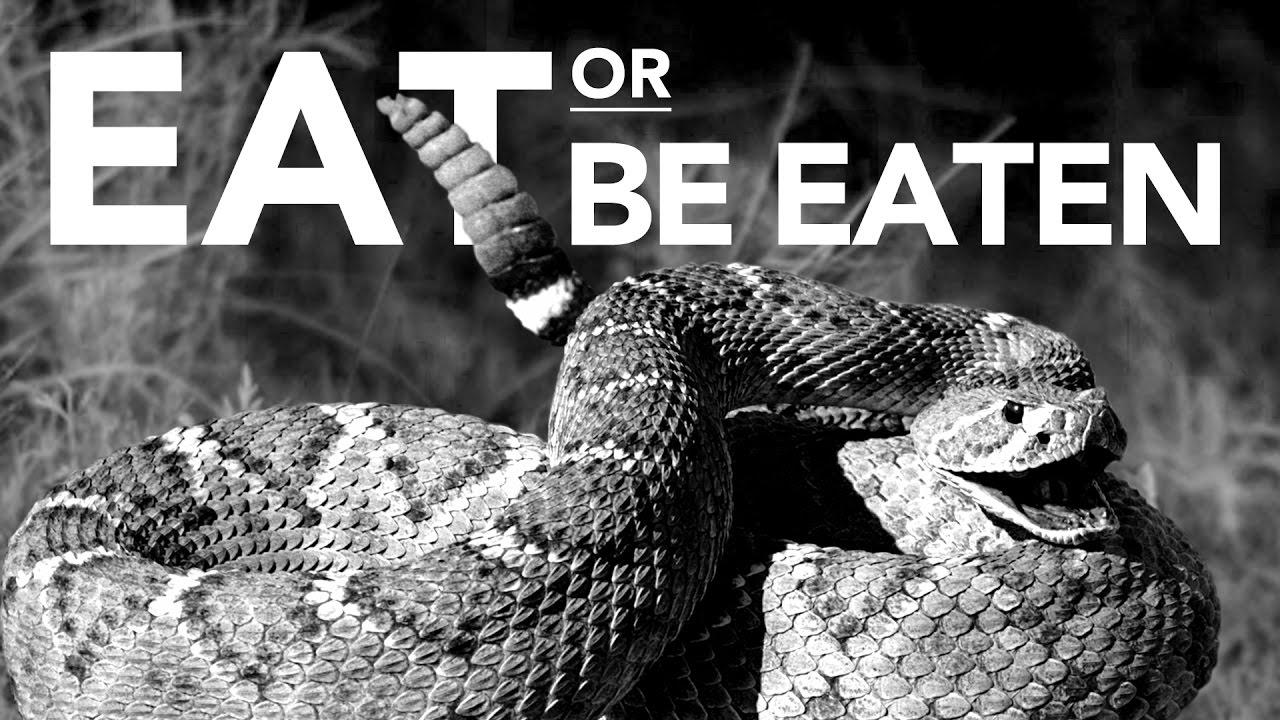 Así ataca la serpiente de cascabel en su hábitat natural