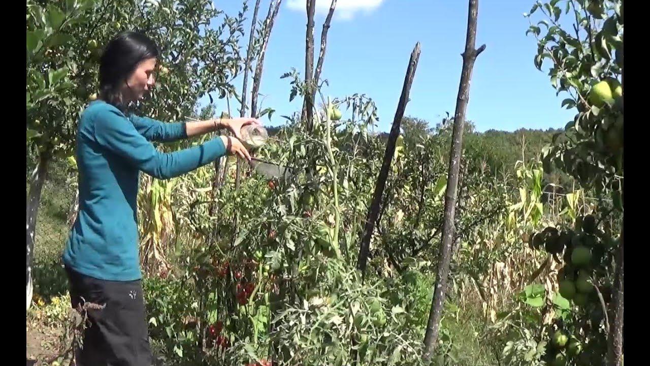 Ploșnița verde a tomatelor - pudrarea cu cenușă, combatere naturală