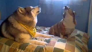 Husky And Corgi!!