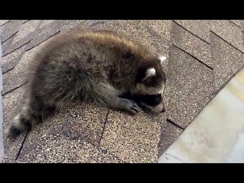 Raccoon Baby Screaming for Mom on the Roof!