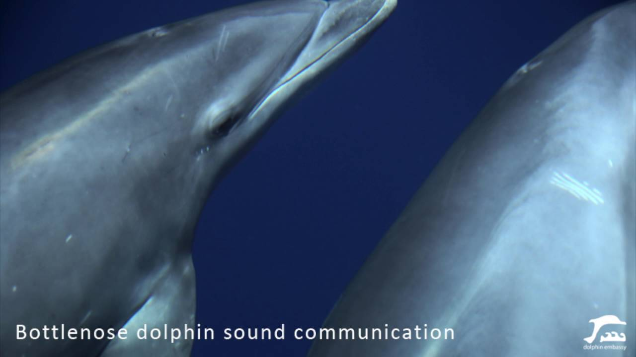 Bottlenose dolphin communication sound (in the wild)