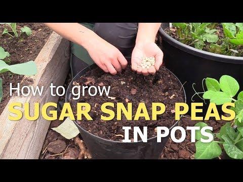 Grow sugar snap peas in pots