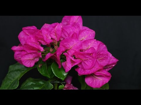 Bougainvillea sp drillingsblume paper flower youtube bougainvillea sp drillingsblume paper flower mightylinksfo