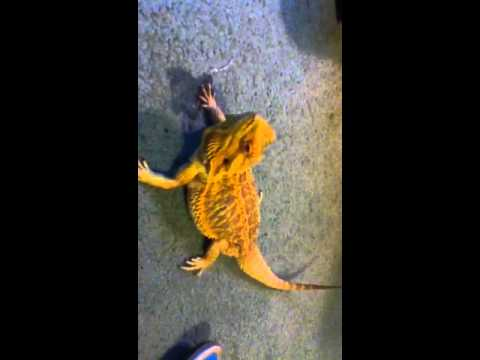 Bearded dragon throwing up