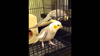 Cockatiel mating call