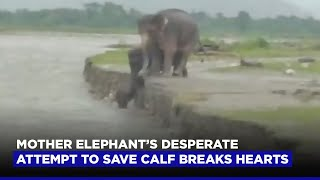 Mother Elephant S Desperate Attempt To Save Calf Breaks Hearts Youtube Sentence examples for desperate attempt from inspiring english sources. youtube