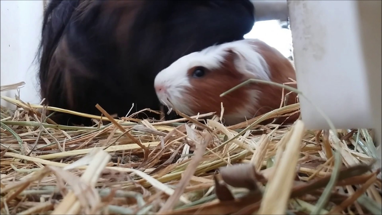 Last Day for a Baby Guinea Pig.