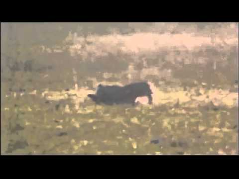 Cheetah vs Gazelle 110km h Cheetah attack gazelle