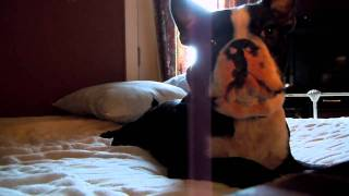 Boston Terrier Gets Bossy For Food.