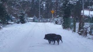 Dziki na drodze ( wild boars on the road )